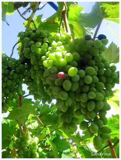 kad grožđe zarudi